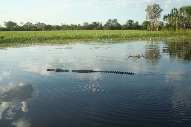 This crocodile just glided past us as though we weren't there (Yellow River, Kakadu).